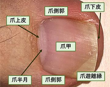 爪の構造・解剖