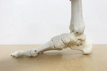 正常の足の骨格